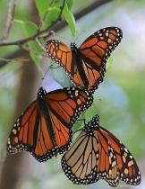 Tres Monarchs