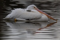 White Pelican on a Dreary Day