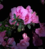 "Pink Azaleas  ""stage light"""