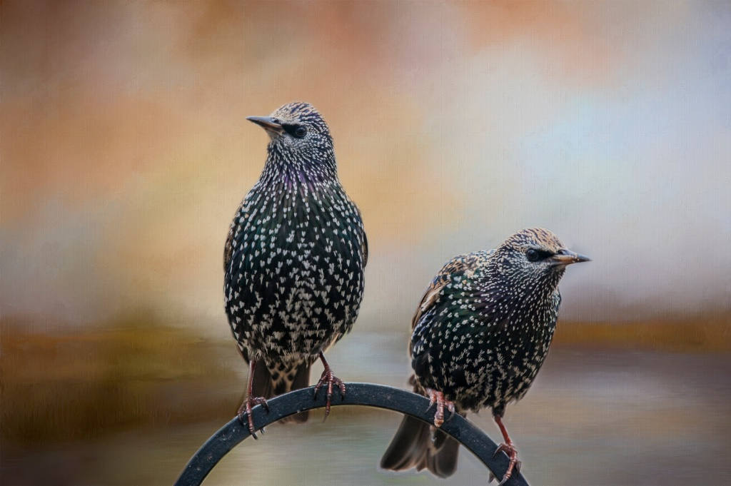 Two Starlings