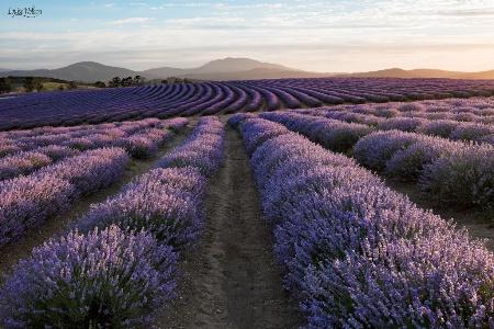 Bridestowe Lavender 2