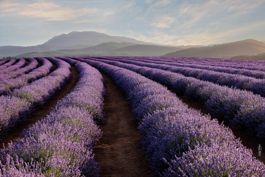 Bridestowe Lavender 1 - ID: 15672900 © Louise Wolbers