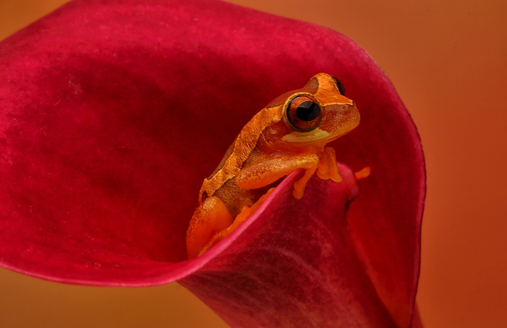 Hourglass Frog in Cala Lily