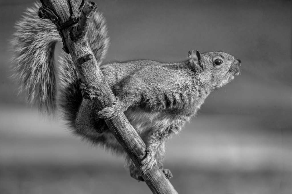Squirrel in Black and White