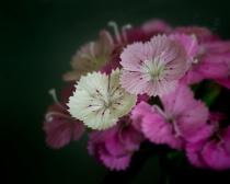 Delicate Dianthus