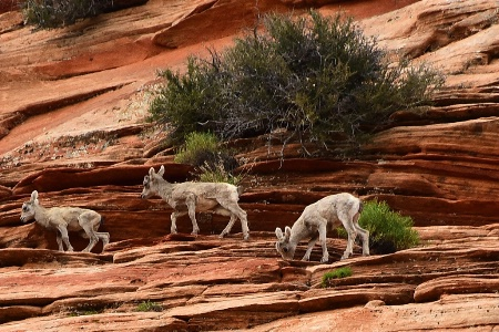 Three Young Mountain Goats