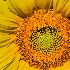 2Center of Sunflower - ID: 15674186 © Frederick P. Brown