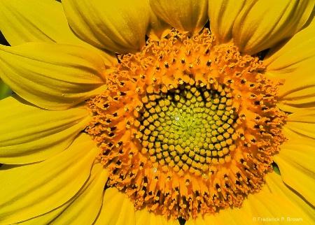 Center of Sunflower