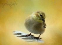 Goldfinch Eye
