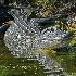 © Peter Tomlinson PhotoID# 15675138: Alligator, Florida