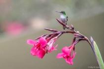 Hummingbird on Fuschia in the Rain