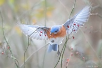 Bluebird with Berries and Angel Wings