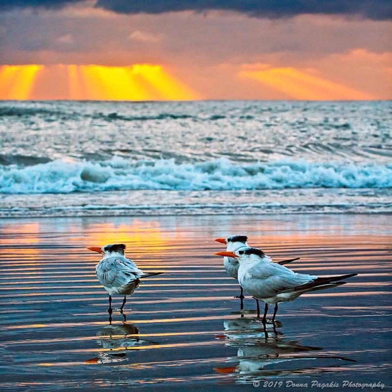 Three Terns at Sunset
