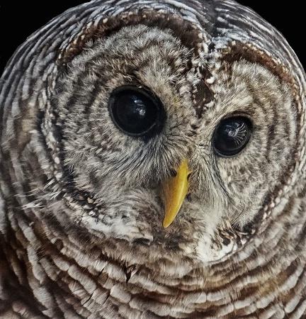 Barred Owl Portrait