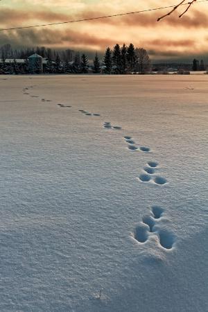 Rabbit Footprints In The Sunset