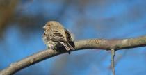 A Finch