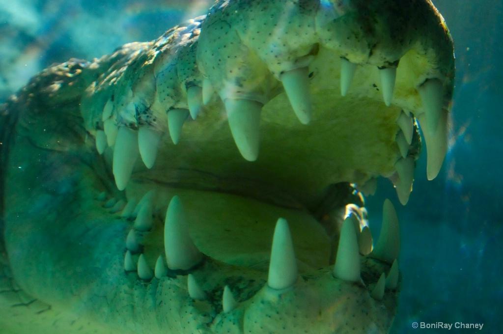 Big mouth alligator - ID: 15678430 © BoniRay Chaney