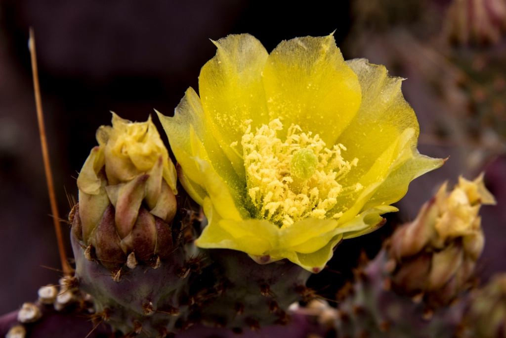 Cactus Flower - ID: 15679248 © William S. Briggs