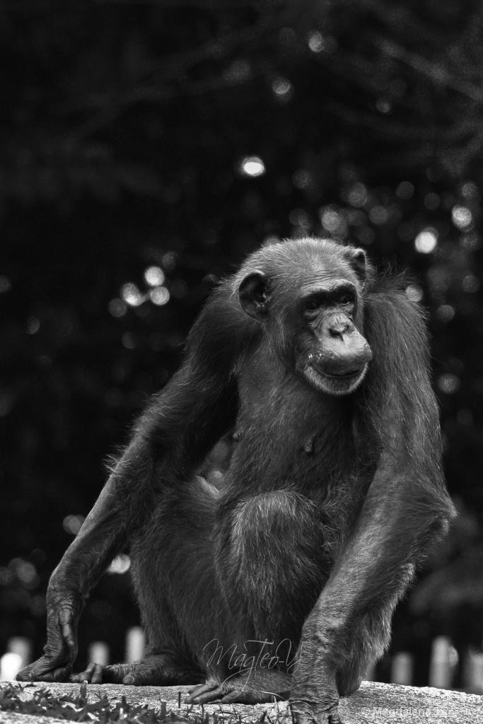 Wildlife Series - Monkey: Chimpanzee - ID: 15679384 © Magdalene Teo