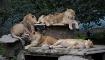 The lions sleep a...