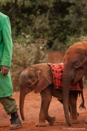 Orphan Elephants - David Sheldrick Orphanage