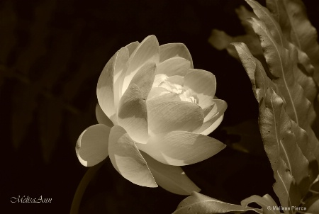 Water Lily in Sepia