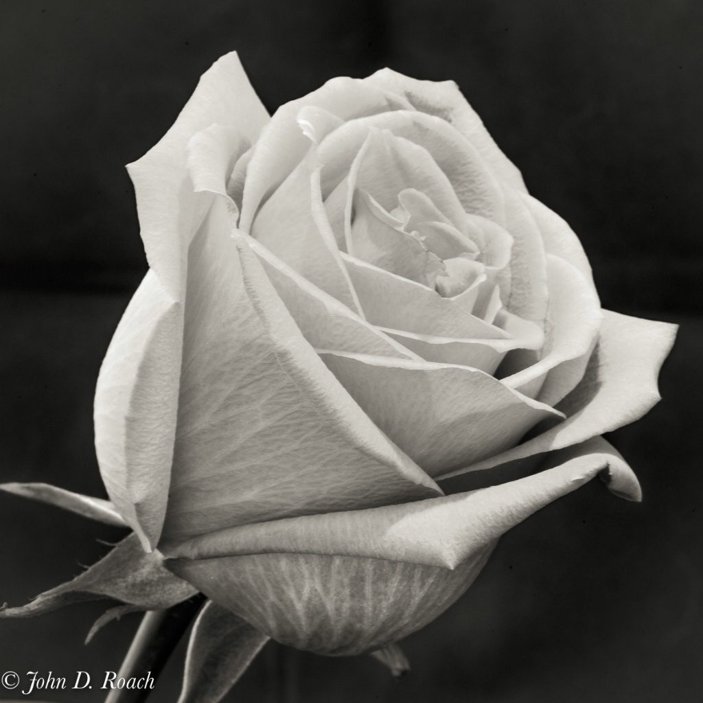 Rose Variations - A Study-24 - ID: 15680244 © John D. Roach