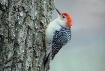 Cold Woodpecker