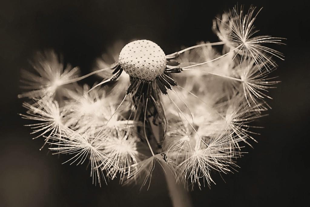 dandelion, in sepia