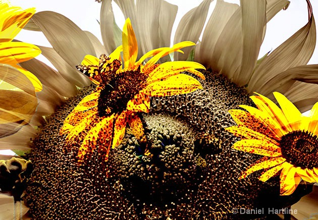 sunflower-comp-40 - ID: 15680901 © Daniel  Hartline