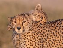 Mom and Babe Cheetah