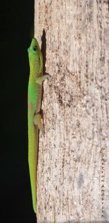 Suntanning For Geckos