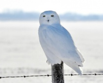 The Back-Lit Snowy Owl