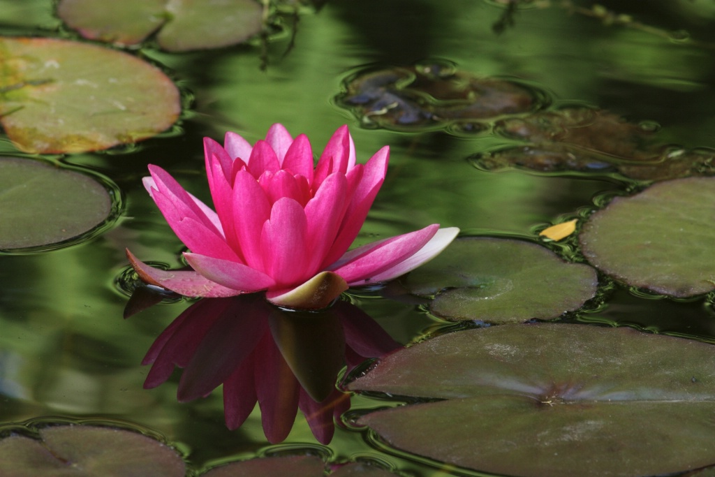 Rose water lily on green waters