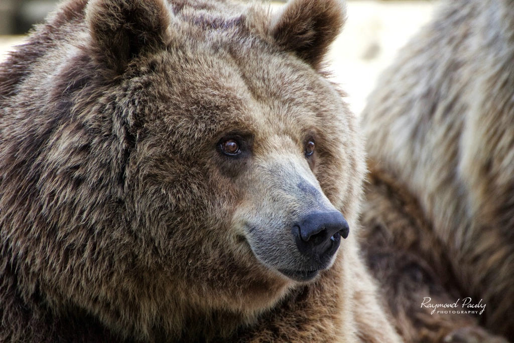 Gentle Faced Grizzly Bear