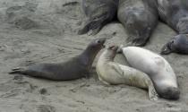 Elephant Seal Duet