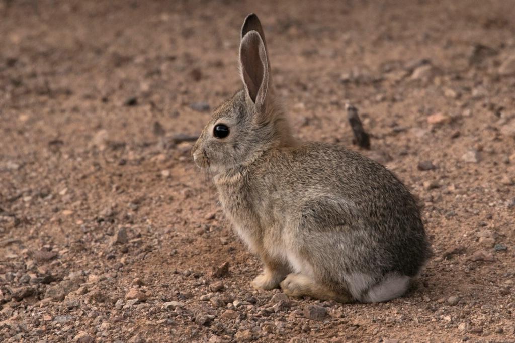 Young Arizona Bunny Rabbit
