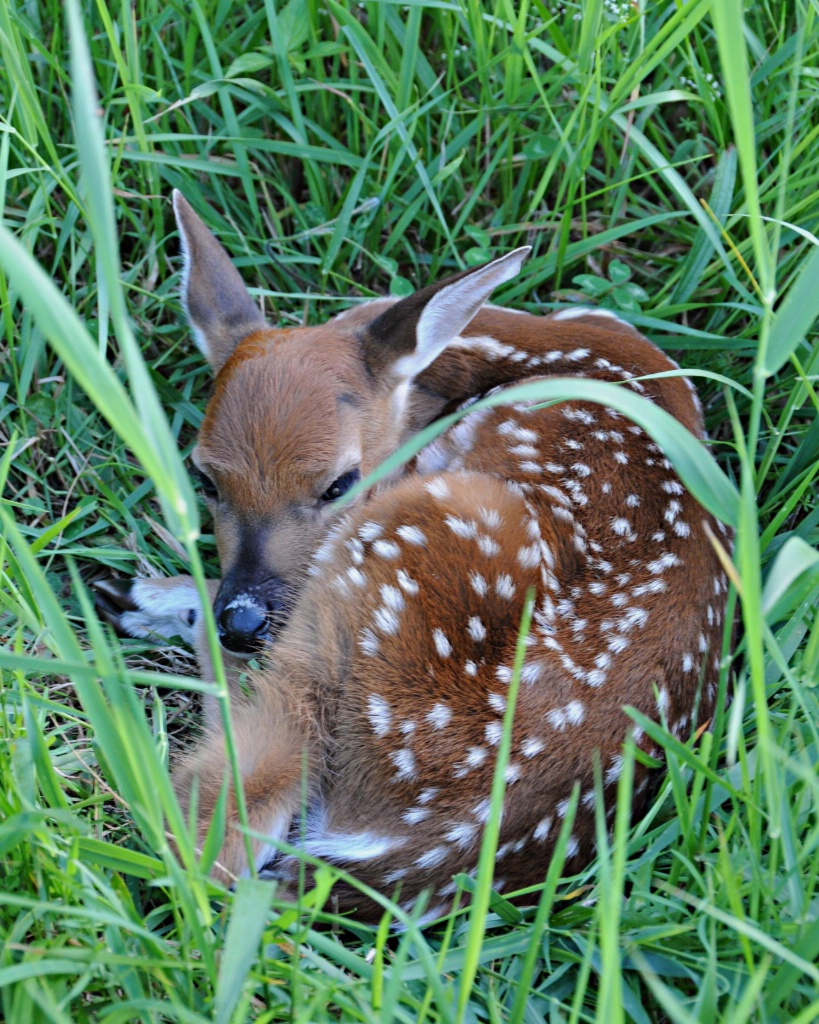 New Born White Tail Fawn - ID: 15696039 © William S. Briggs