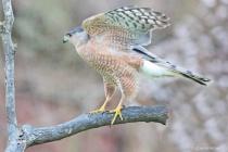 Sharp Shinned Hawk- Pose 2- Photos