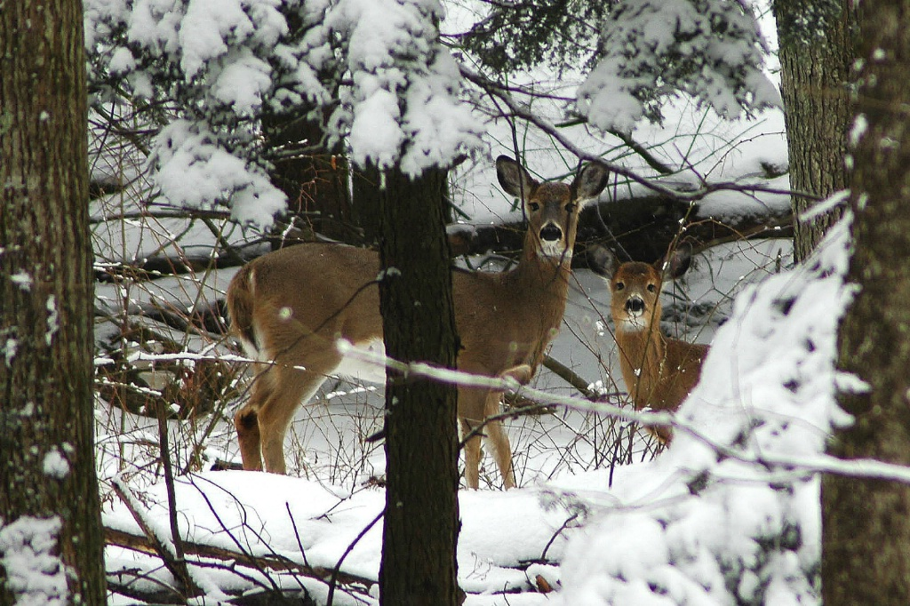 Mom And Fawn In The Snow - ID: 15696648 © William S. Briggs