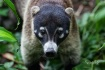 Coati in the Rain...