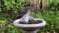 Hawk in the Bird Bath
