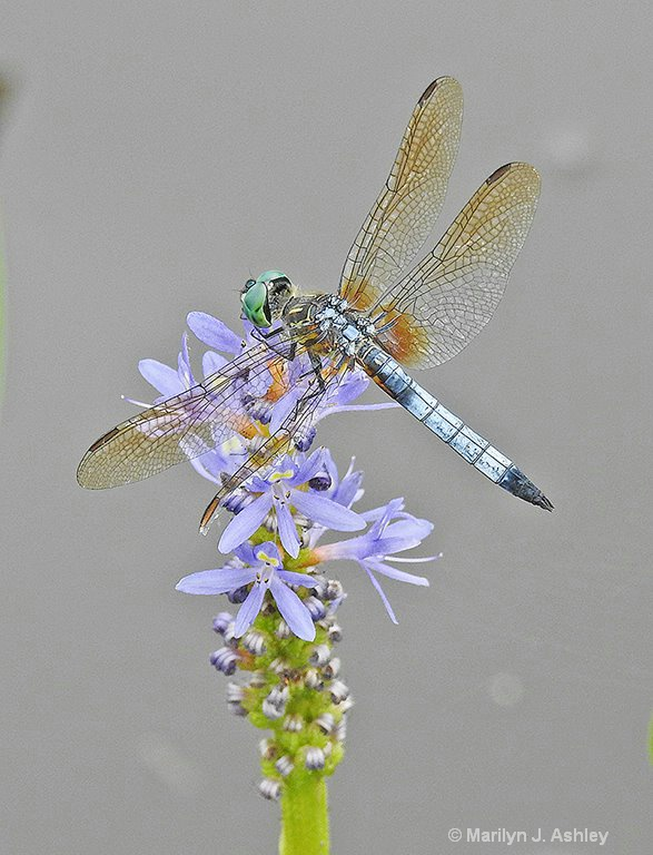 Blue Skimmer - ID: 15705173 © Marilyn J. Ashley