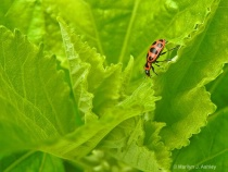 Pink Spotted Lady Beetle