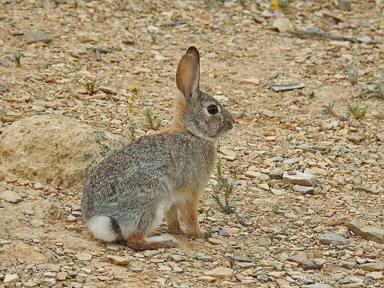 Cottontail Rabbit - ID: 15705178 © Marilyn J. Ashley