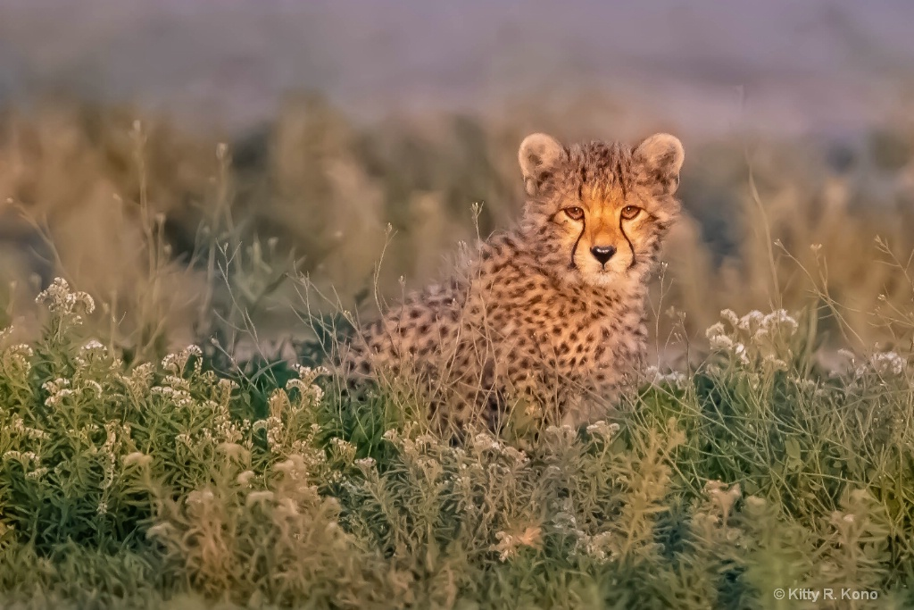 Cheetah Cub in the Wildflowers - ID: 15705297 © Kitty R. Kono