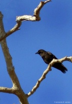 The raven still sitting
