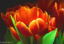 Ah Joanns Tulips-2