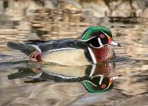 Aix Genus wood duck