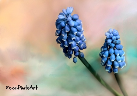 Grand Grape Hyacinth